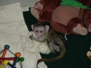 дружелюбный капуцинов обезьяна для принятия.