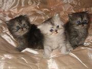 Продам персидских котят от зачётной кошки